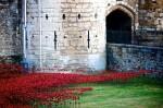 poppies-2