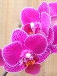 Mum's Orchids 2